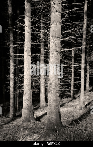 Conifers in Macclesfield Forest - Stock Photo