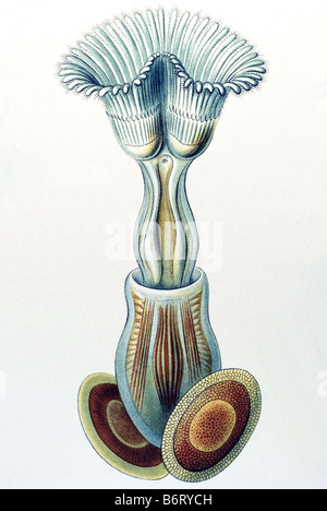 Bryozoa / Moostiere, Name Cristatella, 6/ Plumatella repens - Stock Photo