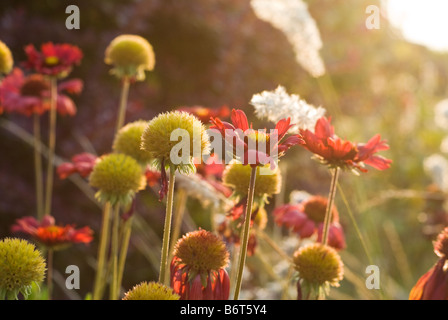 Flowers bathed in late afternoon sunshine in Chianti, Tuscany, Italy - Stock Photo