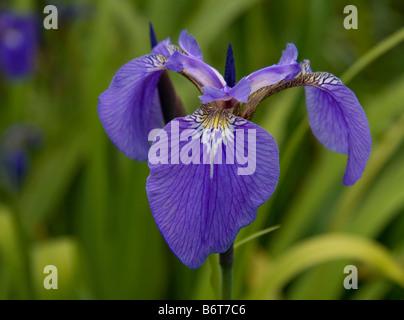 Blue iris with yellow centre and darker purple veining.