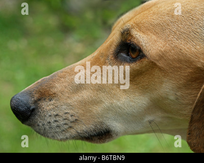 portrait dog Sloughi side view from head - Stock Photo