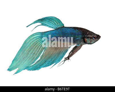 blue Siamese fighting fish Betta Splendens in front of a white background - Stock Photo