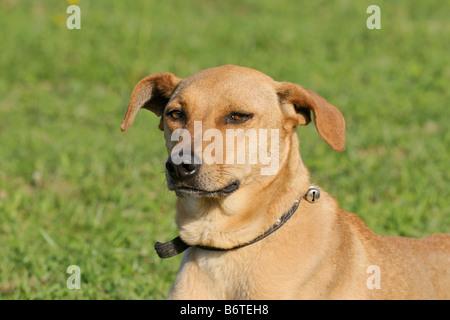 Azawakh an African dog probably a mongrel - Stock Photo