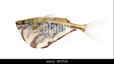 Common hatchetfish Gasteropelecus sternicla in front of a white background - Stock Photo