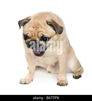 Pug years in front of a white background - Stock Photo