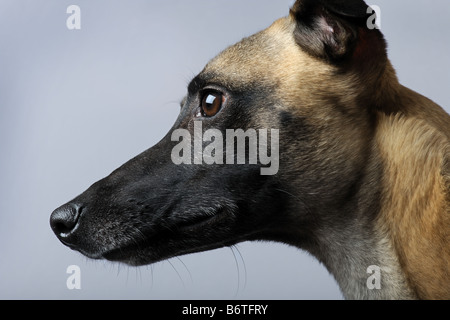 Whippet 1 year in front of a grey background - Stock Photo