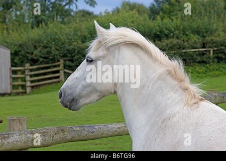 White Eriskay pony mare - Stock Photo