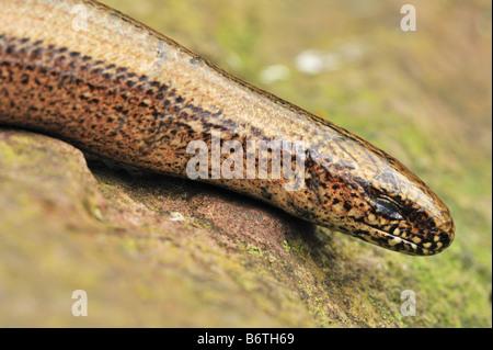 Slow worm blinking - Stock Photo