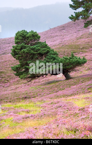 Scots pine tree, shaped by prevailing wind, growing on a flowering heather moor in the Cairngorms, Scotland.