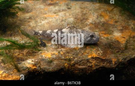 Bullhead or Millers Thumb fish Cottus gobio Midlands UK - Stock Photo