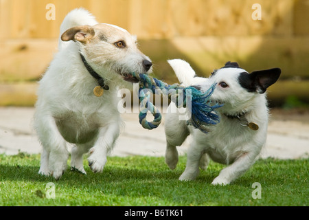 Jack Russells playing - Stock Photo