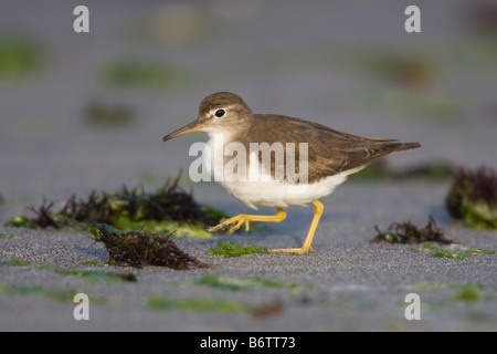 Spotted Sandpiper (Actitis macularia) walking along a beach