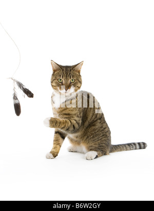 Tabby tom cat playing with feathers looking seriously at the camera with one paw in the air - Stock Photo