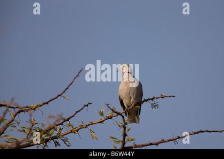 Female Namaqua Dove Perched on Acacia, Etosha National Park, Namibia - Stock Photo