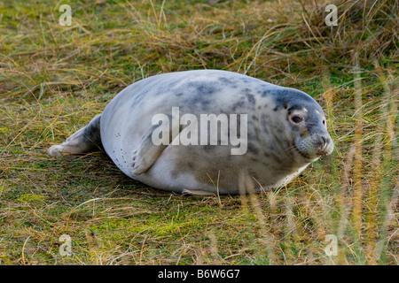grey seal halichoerus grypus pup - Stock Photo