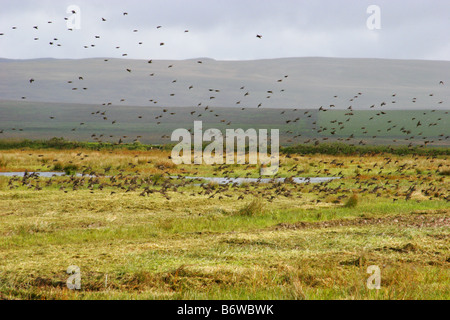 Starlings Sturnus vulgaris flock flying flying across marshes Taken October Loch Gruinart Isle of Islay Scotland - Stock Photo
