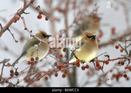 Cedar Waxwings perched in Crabapple Tree with Berries - Stock Photo