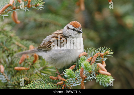 Chipping Sparrow perched in Spruce - Stock Photo