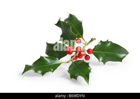 Holly branch with berries cut out isolated on white background - Stock Photo