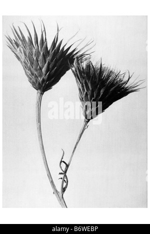 Sawwort - Stock Photo