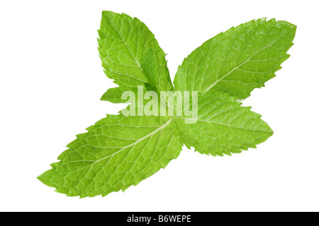 Sprig of mint cut out isolated on white background - Stock Photo