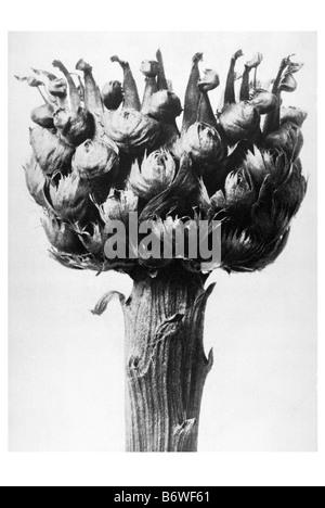 knapweed - Stock Photo