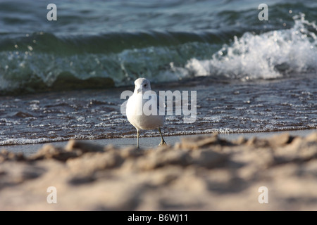 Single seagull walking on beach in New Buffalo Michigan with waves breaking in background - Stock Photo