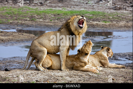 Tanzania, Katavi National Park. A lion cub keeps a watchful eye while resting near its mother. - Stock Photo