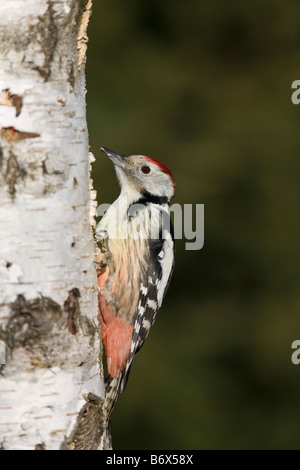 Mittelspecht Dendrocopos medius Middle Spotted Woodpecker sitting on birch tree adult - Stock Photo