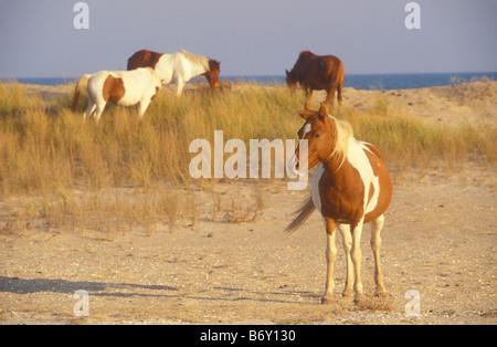 Wild Ponies In the Dunes, Chincoteague National Wildlife Refuge, Assateague Island National Seashore, Virginia, - Stock Photo
