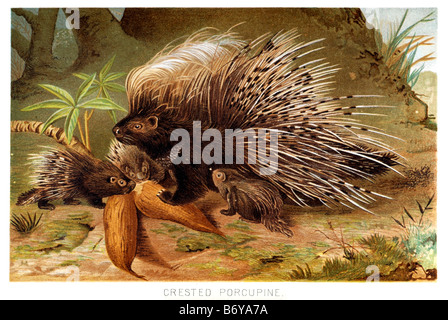 The crested porcupine Hystrix cristata is a species of rodent in the Hystricidae family - Stock Photo