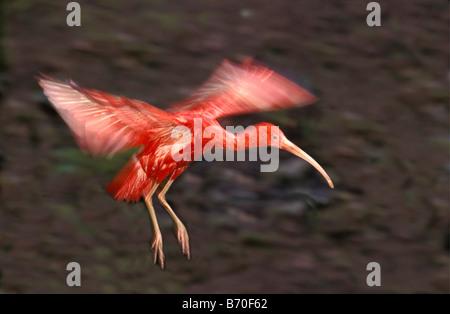 Suriname, Matapica National Park, Scarlet Ibis flying (Eudocimus Ruber). - Stock Photo