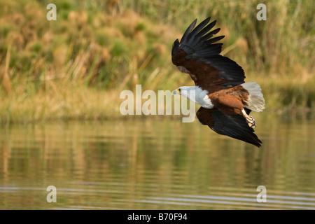 African Fish Eagle Taking Off, Okavango Panhandle, Botswana - Stock Photo
