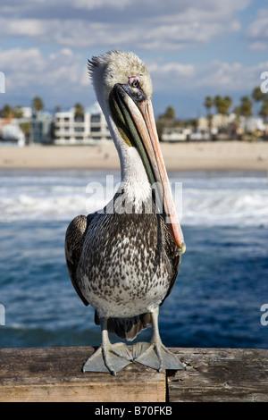 A white and brown pelican sits waiting for food on the end of a Los Angeles pier with the beach and sea in the background, - Stock Photo