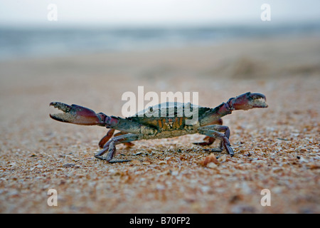 Suriname, Matapica National Park. Crab in defensive position. - Stock Photo