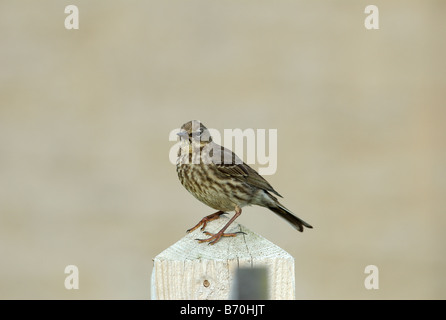Meadow Pipit (Anthus pratensis) standing on a post. - Stock Photo