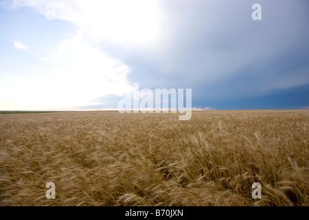 Wheat Field in Wakeeney Kansas - Stock Photo