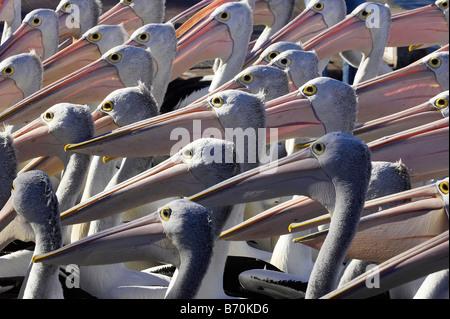 Australian Pelicans Pelecanus conspicillatus at The Entrance New South Wales Australia - Stock Photo