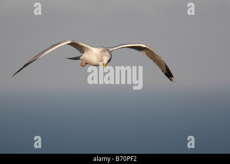 Larus argentatus HERRING GULL IN FLIGHT - Stock Photo