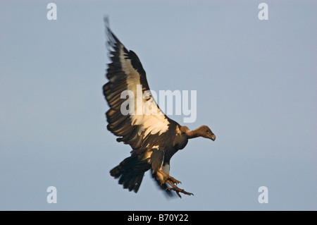 The Indian White-rumped Vulture (Gyps bengalensis) - Stock Photo