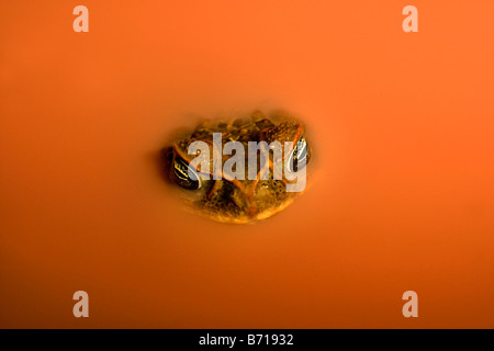 Suriname, Brownsweg, Brownsberg National Park. Cane Toad (Bufo Marinus). In laterite pool. - Stock Photo