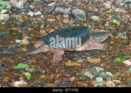 Snapping Turtle Chelydra serpentina Springfield Missouri United States 2 June Adult Chelyridae - Stock Photo