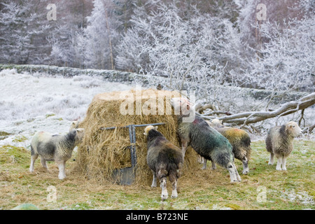 Herdwick Sheep feeding on hay during a cold snap near Tarn Hows in the Lake district UK - Stock Photo
