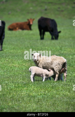 New Zealand, South Island, Kingston near Queenstown. Sheep and cows. - Stock Photo