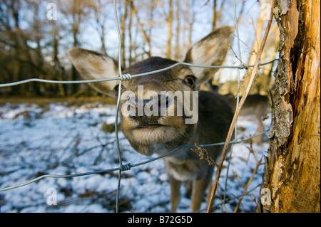 fallow deer DAMA DAMA venison roe deer winter wintertime snow cold face nose eye red deer cervus nippon  elaphus - Stock Photo