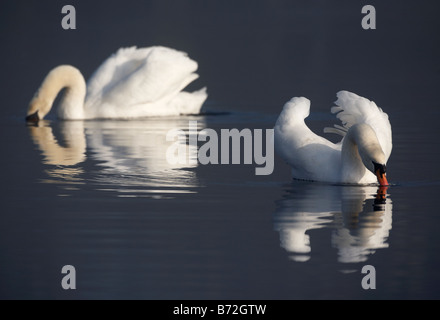 two mute swans cygnus olor swimming and feeding on a lake in county down Northern Ireland UK - Stock Photo