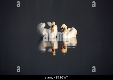 pair of mute swans cygnus olor swimming on a lake in county down Northern Ireland UK - Stock Photo
