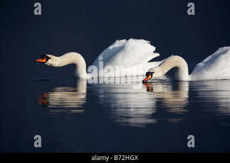 pair of mute swans cygnus olor swimming drinking and feeding on a lake in county down Northern Ireland UK - Stock Photo