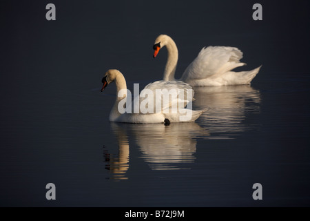 two mute swans cygnus olor swimming on a lake in county down Northern Ireland UK - Stock Photo
