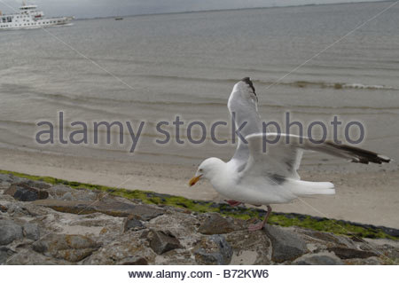 Seagull on the beach on the island of Norderney in the German Frisian islands - Stock Photo